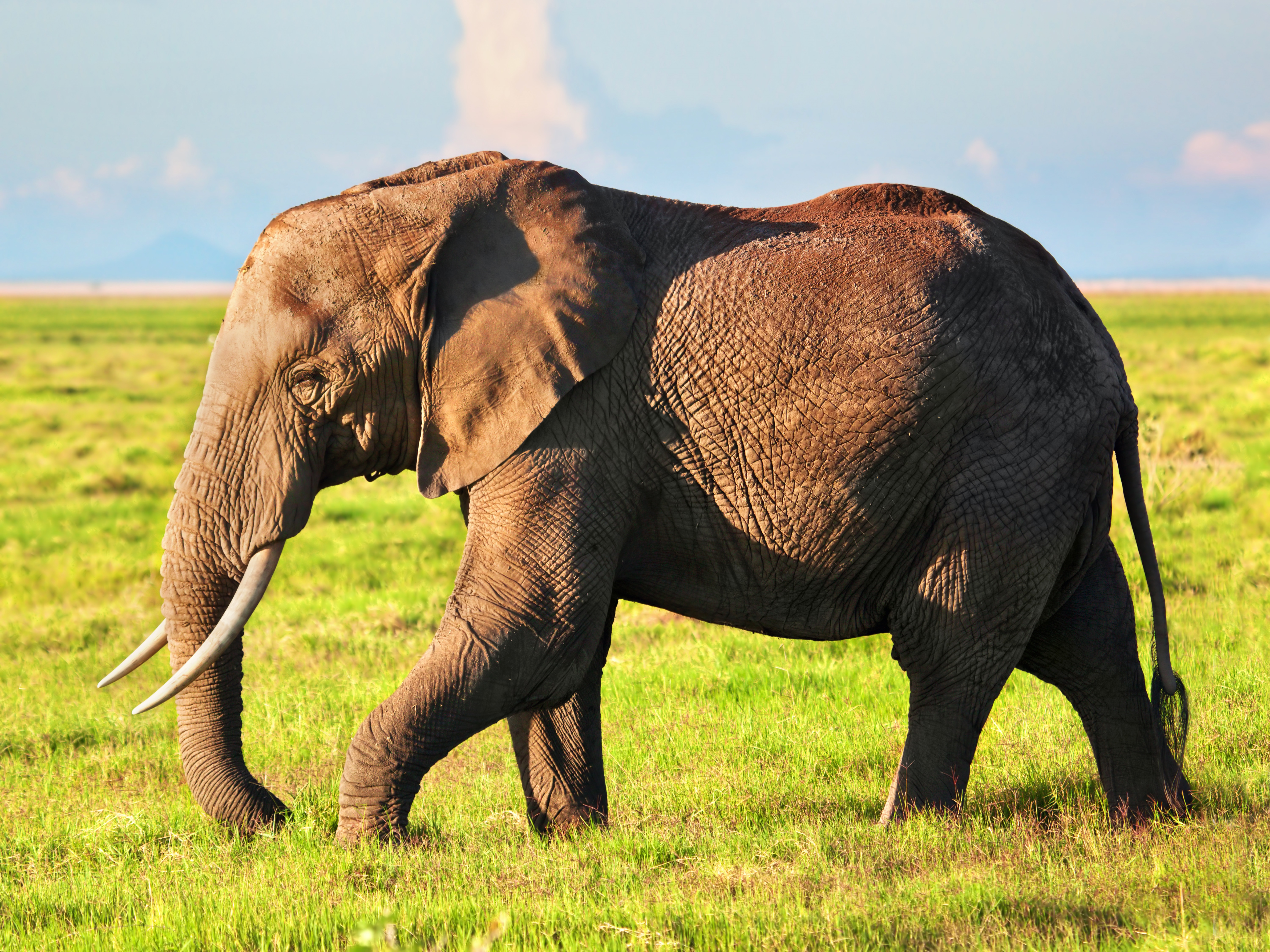 Evolution of the Tuskless Elephant