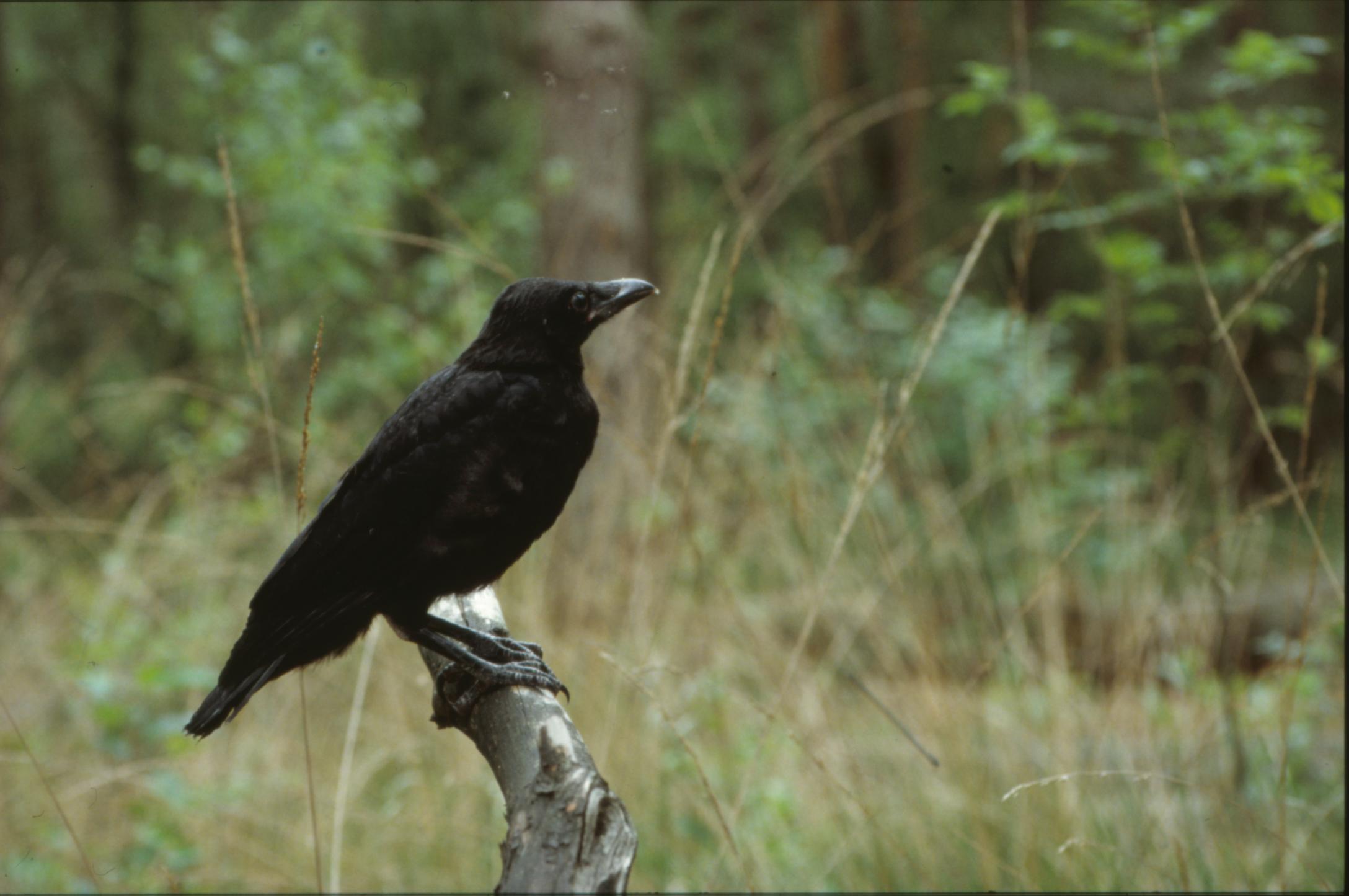 別小看渡鴉!鳥類的精明交易者