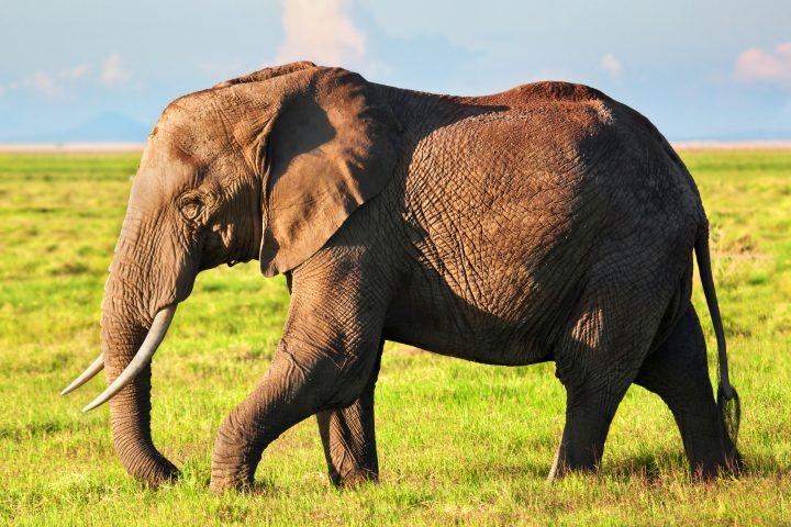 無牙大象的進化